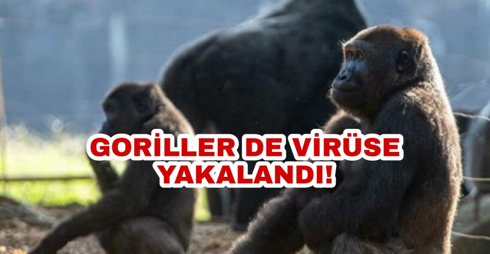 Goriller de koronavirüse yakalandı!